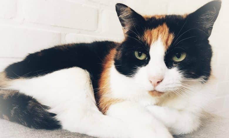 قطة مصابة بفيروس كورونا