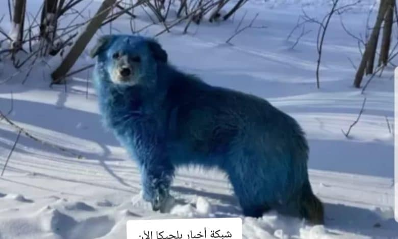 الكلاب الزرقاء الغريبة في روسيا